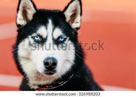 Close Young Husky Dog On Orange Stock Photo Edit Now 326988203