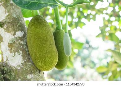 Close up of  young Jackfruit on the Jackfruit Tree
