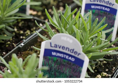 Close up of young lavender plants being grown in greenhouse