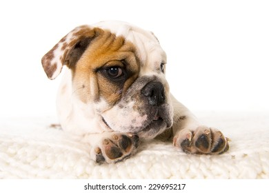 close up young little French Bulldog cub lying on bed at home looking curious at the camera isolated on white background studio lighting in sweet domestic dog pet concept