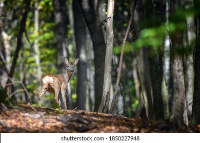 Close young majestic red deer stag in Autumn Fall. Cute wild mammal in natural environment. Wildlife scene from nature