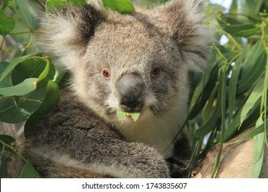 Fermeture d'un jeune homme, joey koala, regardant tout droit la caméra en mangeant des feuilles d'eucalyptus de l'arbre à proximité