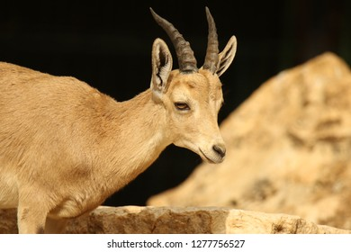 a close up of a young Nubian ibex goat standing next to a rock