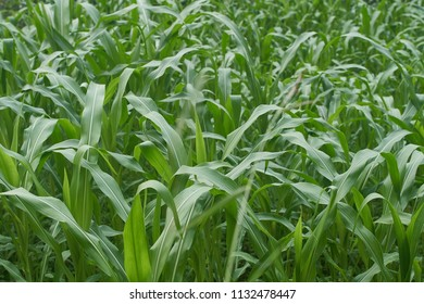 Close up of young organic corn plants in the himalayan mountains.