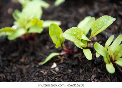 Close Up of Young Rainbow Chard Plants in Raised Garden Beds