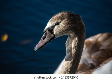 Close up young swan portrait grey nature spring birds wild life