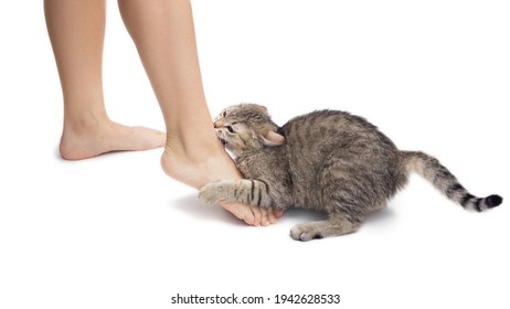 Close up of a young tabby cat bites a woman's feet. Cute kitten is playing with owner's feet isolated on white background. Naughty cat biting an ankle. Bad behavior of pet