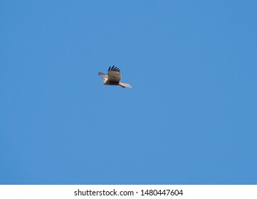 close up young western marsh harrier Circus aeruginosus flying against clear blue sky, frontal view