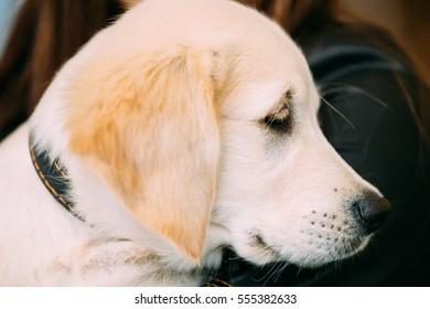 Close Up Young White Labrador Dog Puppy.