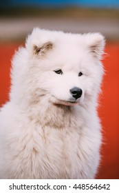 Close Up Of Young White Samoyed Dog Sitting On Floor Outdoor