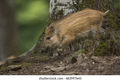 Close up young wild boar Sus scrofa calm piggy walking on path in dark wood. Wildlife tranquil scene with long furry animal. Strong nose and well smell sense to search food for omnivorous mammal.