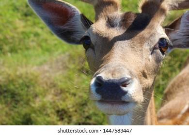 Close up of a young wild fallow deer, Bambi eyes