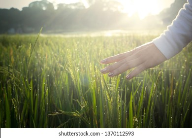 Close up of young woman palms caressing ears of paddy at sunrise time