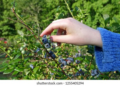 Close up of a young woman's hand gathering ripe blueberries in summer