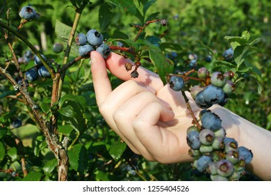 Close up of a young woman's hand picking ripe blueberries on a sunny day