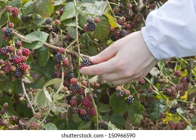 Close up of a young woman's hand picking plump, ripe blackberries