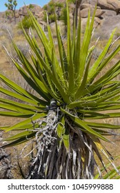 Close up of Yucca plant in Joshua Tree National Park in California's Mohave Desert
