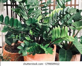 close up of Zanzibar Gem plant in the clay pots
