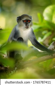 Close up Zanzibar Sykes' monkey, Cercopithecus albogularis in typical environment of  Zanzibar's Jozani forest. Portrait, orange eyes. Authentic travel photo, nature of Zanzibar island, Tanzania.
