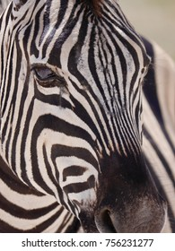 Close up zebra