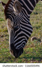 Close up of a Zebra bending down to eat grass in the field