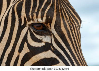 Close up of a Zebra eye looking at you