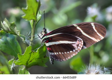 Close up of a Zebra longwing (Heliconius Charitonius) Butterfly