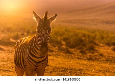 Close up of Zebra in South Africa