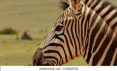 Close up of a Zebra standing next to you in the field