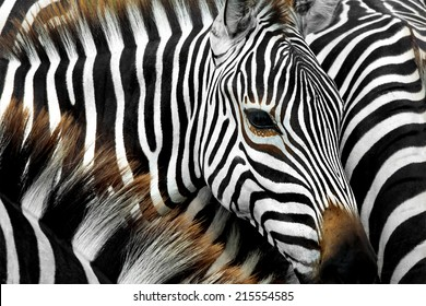 close up from a zebra surrounded with black and white stripes in his herd