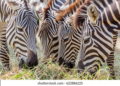 Close up zebras grazing grass with blurred background in zoo.