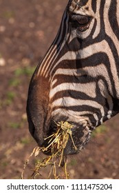 A close up of a Zebra's head while eating