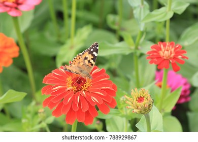Close up of Zinnia flower . Zinnia flower in the garden