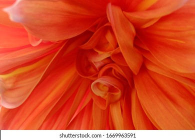 close up and zoom in petal flower with tone of orange and red color. petal have   pattern of curve structure and texture  by natural characteristic by type cultivar.