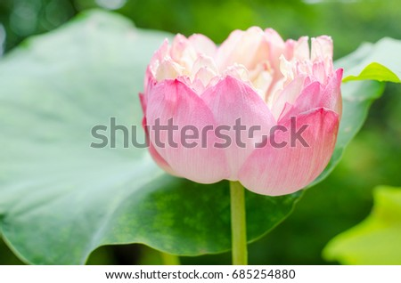 Closed beautiful big lotus flower pond stock photo edit now closed up beautiful big lotus flower in the pond with blurred leaf background mightylinksfo