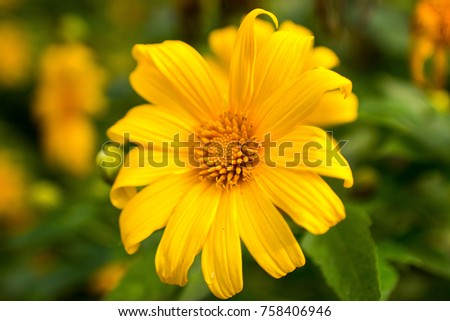 Closed big yellow flower burred green stock photo edit now closed up big yellow flower and burred green background tree marigold mexican tournesol mightylinksfo