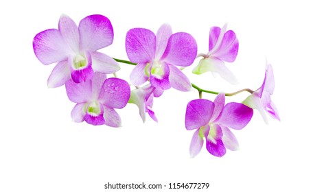 Closed up branch of soft purple fresh orchid flower isolated on white background with clippng path, for natural interior or exterior decoration