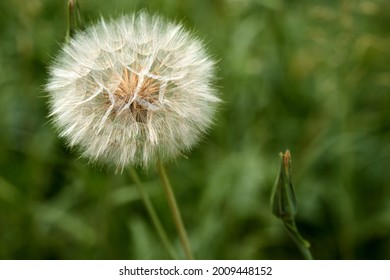 Closed Bud of a dandelion. Dandelion white flowers in green grass. High quality photo