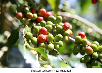 Closed Up Bunch of Red Ripe Coffee Cherries on Its Tree Branch Ready for Harvesting