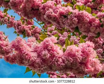 Closed up of cherry blossom, sacura, Brooklyn, NY