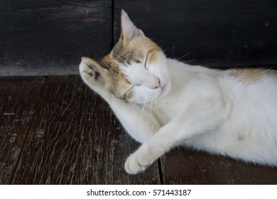Closed up cute three colors or tricolor as white orange and black female cat just wake up. it try to clean up itself on brown wooden floor