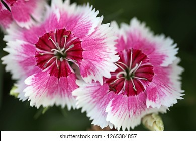 Closed up of Dianthus flower