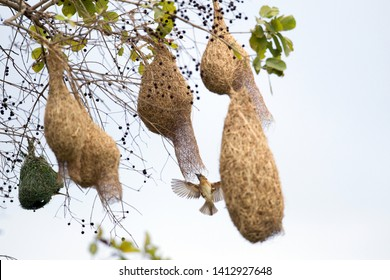 Closed up a flock of Baya weaver (Ploceus phillippinus), high angle view, in the morning building nest carefully on the branch which overhanging on riverbank of Lopburi River, Central of Thailand.