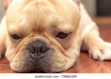 Closed up of french bulldog, lovely pets is lying sleeping in the house