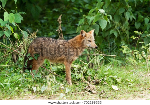 Closed up Golden Jackal ( Canis aureus) stand up  on daylight in the morning , The jungle of Thailand