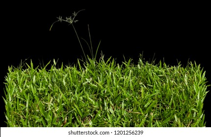 Closed up green lawn/ grass isolated on black background