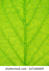 Closed up of a green leaf vein