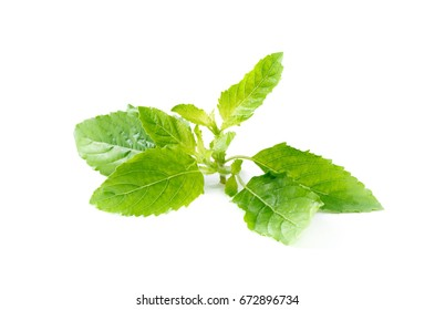 closed up of Holy basil leaf isolated on white background, It is cultivated for religious and medicinal purposes for its essential oil and a herbal tea