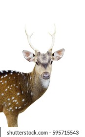 closed ip of the chital deer with beautiful antler isolated with white background