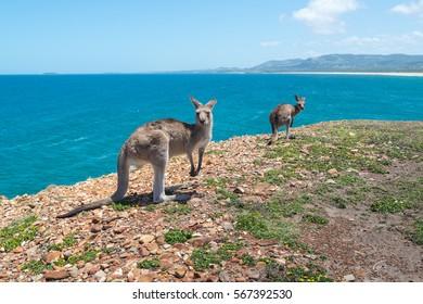 closed up kangaroo. Coffs Harbour, NSW, Australia.